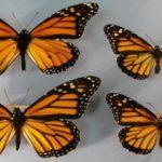 Бабочки одного вида могут иметь крылья разного размера и формы
