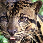 Впервые снят на видео редкий вид дымчатого леопарда